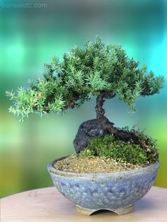 A 5+ Year Old Juniper Bonsai Tree in Japanese Setku Bowl by anytimeflower che carinooo