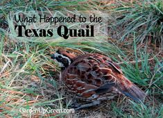 What Happened to the Texas Quail?   You can make a difference by being proactive - Get More Details and discover the beauty of raising bobwhite quail.