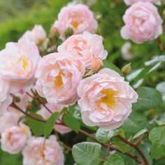 A healthy and floriferous rose, bearing sprays of pretty flowers. Buy The Lady of the Lake from David Austin with a 5 year guarantee and expert aftercare. Beautiful Roses, Beautiful Flowers, Romantic Flowers, Romantic Nature, Romantic Ideas, Pink Roses, Pink Flowers, Tea Roses, Exotic Flowers