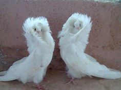 Wild Life With Amazing Nature -    Jacobin Pigeons ♥ Beautiful ♥