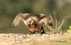 Booted eagle (Hieraaetus pennatus), Málaga, Spain.  ©Cristian Rueda