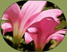 Pink Rain Lilies Digital photo Art print, framed print, canvas print, acrylic print, tin print, wall art, wall décor, greeting card, photo art, flower print