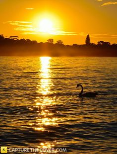 Point Walter swan #CaptureTheCover entry - by Lalita in Perth's Fremantle & Inner South East Region. Click to enter your photos!