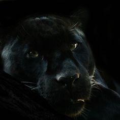 Stunning black panther <3
