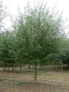 Salix alba 'Chermesina' (Schietwilg GEKNOT) - 3x verplant 16-18 cm