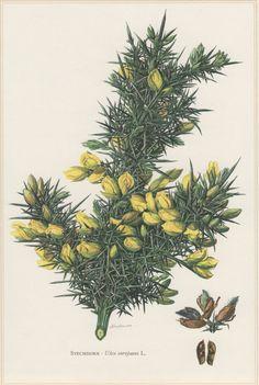 1960 Vintage Botanical Print Ulex europaeus Gorse by Craftissimo