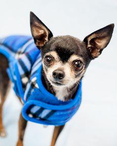 Chihuahua dog for Adoption in Kennesaw, GA. ADN-751896 on PuppyFinder.com Gender: Male. Age: Adult