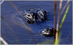 Alligator at Huntington Beach State Park -- Murrells Inlet, SC