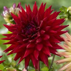 cactus-dahlia-wittemans-best-2420-p.jpg (575×575)