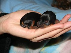 Yorkie Newborn... now that is just too cute.