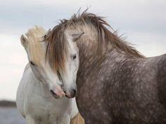 A Pair of Horses Kissing with their Heads Leaning on One Another- Tim_Booth-Photographic Print All The Pretty Horses, Beautiful Horses, Animals Beautiful, Cute Horses, Horse Love, Tim Booth, Arte Equina, Animals And Pets, Cute Animals