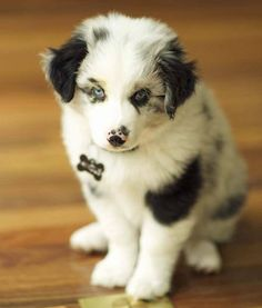 Australian Shepherd Mix- first one I've seen that's mostly white
