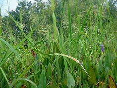 Wild rice (zizania aquatica var. aquatica) is an edible perennial rice, zone 5-10. Pickerelweed (pontederia cordata var. cordata) is a perennial with edible seeds