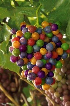 Wine Grape Varieties Information