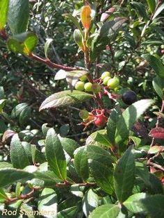 Vaccinium Exul        African Cranberry      Bosbessiebos      S A no 571