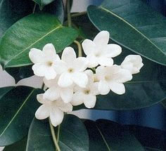 Stephanotis-Wedding Flowers