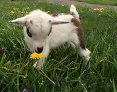 Make one special photo charms for your pets, 100% compatible with your Pandora bracelets. Baby Goats