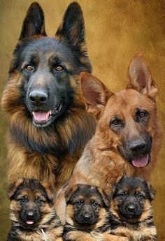 Family portrait of German Shepherd Dogs 'Famiglia' Big Dogs, Cute Dogs, Dogs And Puppies, Doggies, Beautiful Dogs, Animals Beautiful, Cute Animals, Beautiful Family, German Shepherd Puppies