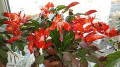Цветение декабриста в ноябре