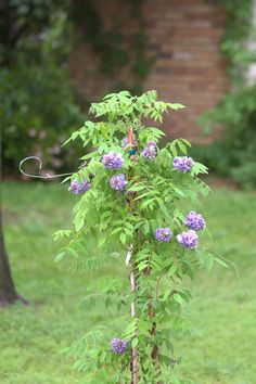 Keep your eye out for sucker plants growing from the living root of your vine, then read up on wisteria sucker transplant tips. This article contains information about transplanting wisteria suckers so you can add more of these vines to your garden.