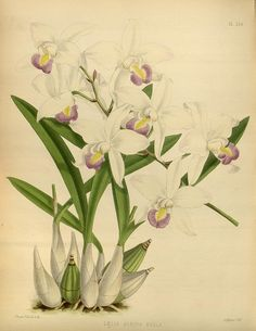 Plate 239, Orchid Album  London :B. S. Williams,1882-97