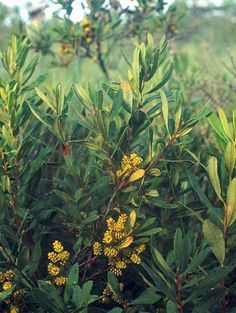 Sweet Gale Bog Myrtl Myrica gale leaves are edible raw. leaves and nutlets are suitable for soups and cooking. leaves can be used to repel i...