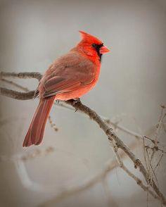Northern Cardinal by Jeff Weymier
