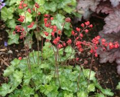 Large blood red flowers on tall slender stems in summer. As yet the largest red flower over a compact green foliage (green not lime as in photo). H/W Part shade. Shade Flowers, Red Flowers, Heuchera, Shade Garden, Blood, Lime, Shades, Landscape, Stems