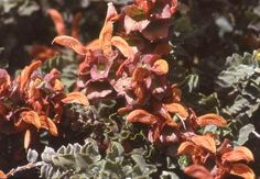 Salvia africana-lutea. Well suited to coastal gardens. Indigenous: South Africa.