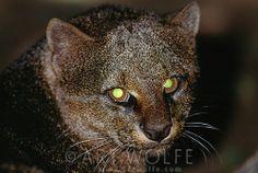 The tapetum lucidum, a layer of reflective tissue in the eye, creates eerie eye shine. Jaguarundi, Belize