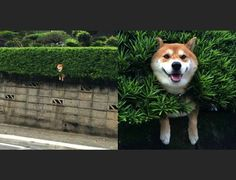 Shiba Inu stuck in a hedge shows us the importance of staying positive