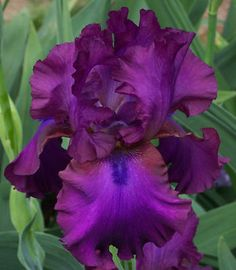 Tall Bearded Iris, Gypsy Romance