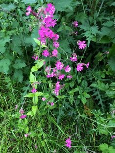 First red campion in woodland edge site! @Green Hampshire #beesand butterflies @Claire Harcup @seed_ball pic.twitter.com/64tt3dUlp1