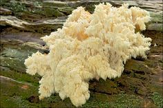 Hericium-All members of this fungi family are considered choice edibles.