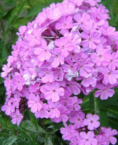flax flowers lavender