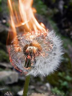 What a dandelion looks like when it burns (look, no rainbow of colors!)