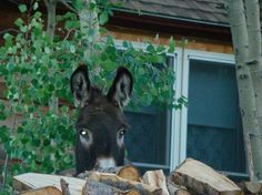 Peek a boo!  Wild donkey in Cripple Creek Colorado.