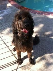 Please also follow the board Adoptables dogs : See all our Adoptable Dogs on Petfinder http://www.petfinder.com/shelters/NJ656.html POODLE MIX - DOODLE RESCUE, REHOME ASSIST, RESOURCE COLLECTIVE - Labradoodle - Goldendoodle for Adoption, Rescue, Rehome & Forum - 501c3 TX - Lilly is an adoptable Labradoodle Dog in Houston, TX.