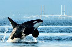 Big Whale, Whale Sharks, Aquarium Fish, Freshwater Aquarium, Killer Whales, Animals Of The World, Ocean Life, Marine Life, Sea Creatures