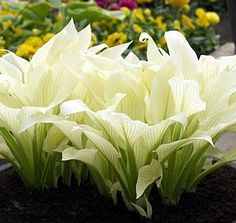 White Feather Hosta – UNBELIEVABLE! – NEW! -RARE! » The Homestead Survival