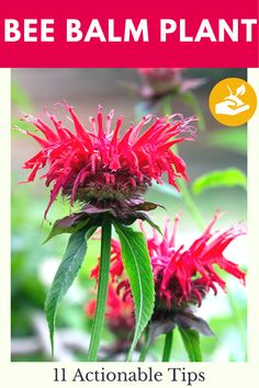 Bee Balm Plant - 11 Actionable Tips you can take today to take care of this wonderful plan. Everything you need to know about the bee balm plant and how to take care of it. The best tips on gardening for beginners #plants #BeeBalm #gardening #gardeningtips #healthyplants #growingplants #flowers #gardeningfever Gardening For Beginners, Gardening Tips, Seeds Preschool, Bee Balm Plant, Seed Craft, Backyard Farming, Garden Care, Green Garden, Better Homes And Gardens