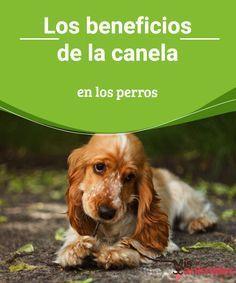 Los beneficios de la canela en los perros Conozcamos más sobre la vida de nuestros canes. Hoy tratamos los beneficios de la canela en los perros y cómo mejorará su calidad de vida. #canela #beneficios #salud #perros