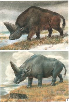 elasmotherium the unicorn from the bible days. Before ppl changed it to a fantasy syfy white mythical horse.