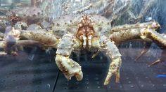 King Crab op de vismarkt in Bergen
