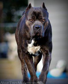Wonderful #Italian #Mastiff