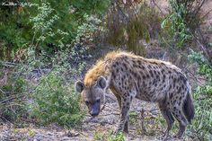 Spotted Hyena, Kruger