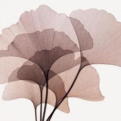 GINGKO LEAVES II Art Print