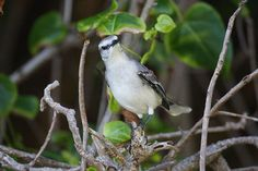 tropical wildlife | Tropical Mockingbird | Endless Wildlife | endlesswildlife | Pinterest