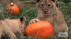 Cute lion cubs play with pumpkins in time for Halloween!