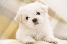 MALTESE PUPPY ADORABLE poster white curly fluffy children love NEW 24X36